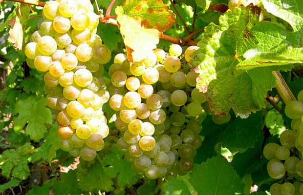 Riesling – Germany's Gift to Chinese Cuisine