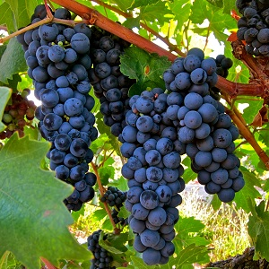 zinfandel-grapes