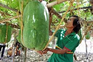 winter-melon