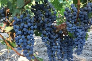 xinjiang-china-wine-grapes